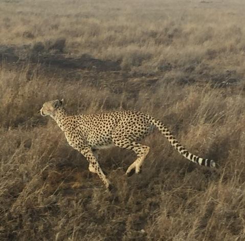 cheetah3
